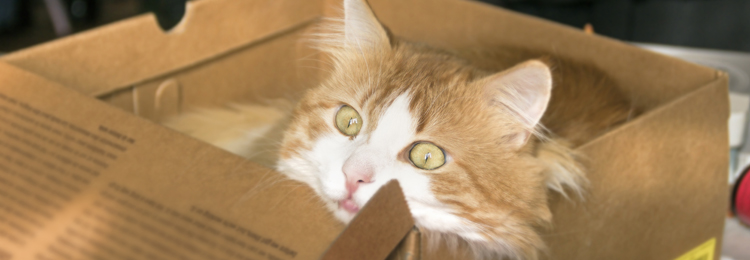 cat in a box while packing