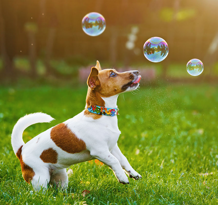 Puppy jack russell playing with soap bubbles in summer outdoor.